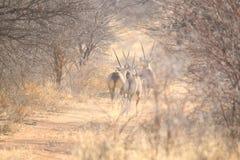 Orix. Omaruru Namibia game farm Stock Photography