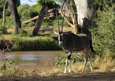 Orix Samburu nationell reserv, Kenya arkivbilder