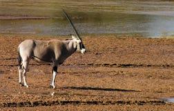 Orix Samburu nationell reserv, Kenya fotografering för bildbyråer