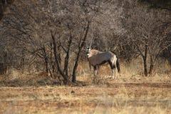 Orix. Shy Orix Namibia Omaruru game farm Royalty Free Stock Photography