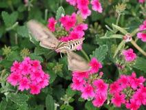 Orizzontale del lepidottero di colibrì Fotografia Stock