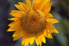 Orizzontale giallo luminoso gigante della fioritura del girasole isolato Fotografie Stock