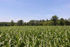Orizzonte del campo di grano Immagini Stock Libere da Diritti