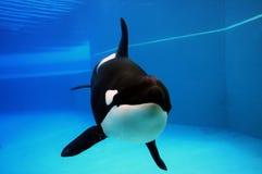 orka Obrazy Stock