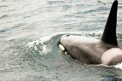 orka Fotografia Royalty Free