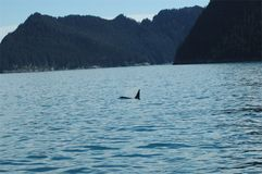orka Zdjęcia Royalty Free