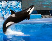 orka Obraz Royalty Free
