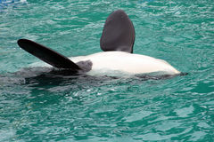 orka Fotografia Stock