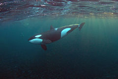 Orka in de Fjorden van Noorwegen royalty-vrije stock afbeeldingen