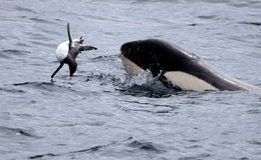 Orka die Gentoo-Pinguïn vangen Stock Fotografie