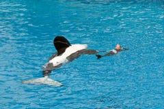 Orka die op zee Wereld uitvoeren Royalty-vrije Stock Fotografie