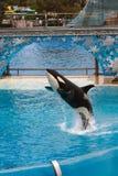 Orka die op zee Wereld uitvoeren royalty-vrije stock foto's
