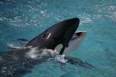 Orka die pret in de oceaan heeft Royalty-vrije Stock Foto