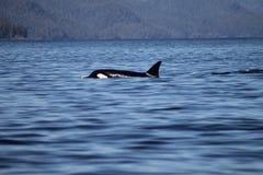 Orka die uit van water springen (Orcinus-orka) Royalty-vrije Stock Afbeeldingen