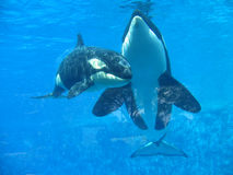 Orka die uit van water springen (Orcinus-orka) Royalty-vrije Stock Foto's