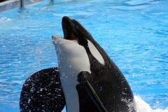 Orka die uit water springt Royalty-vrije Stock Afbeelding