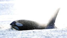 Orka, Killer whale, Orcinus orca royalty free stock photos