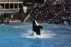 Orka (Orcinus-orka) Royalty-vrije Stock Fotografie