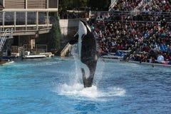 Orka (Orcinus-orka) Stock Fotografie