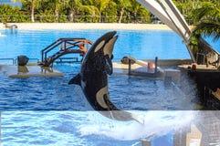 Orka, orka die, Orcinus-orka van het water in oc springen Stock Fotografie