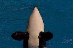 Orka (orka Orcinus) Stock Fotografie