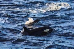 Orka pilotowi wieloryby brać przy atlantyckimi pobliskimi andenes obraz royalty free