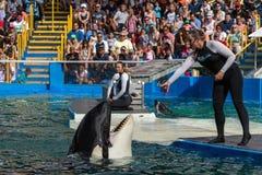 Orka przy Miami Seaquarium Zdjęcia Royalty Free