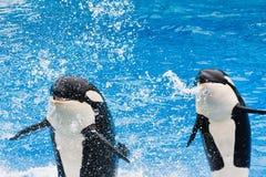 Orka's die in SeaWorld presteren royalty-vrije stock afbeelding