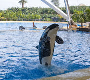 orka wieloryb Fotografia Stock