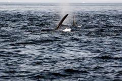 Orka wieloryby Obrazy Stock