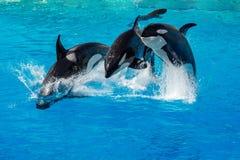 Orka zabójcy wieloryb podczas gdy skaczący Obrazy Royalty Free