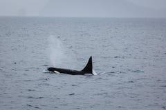Orka zabójcy wieloryba oddychanie Fotografia Stock