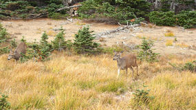 Orkaanrand, Olympisch Nationaal Park, WASHINGTON de V.S. - Oktober 2014: Een blacktailhert houdt op om de mening van te bewondere Stock Foto's