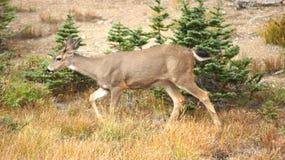 Orkaanrand, Olympisch Nationaal Park, WASHINGTON de V.S. - Oktober 2014: Een blacktailhert houdt op om de mening van te bewondere Royalty-vrije Stock Foto's
