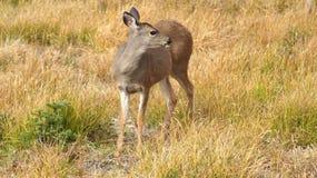 Orkaanrand, Olympisch Nationaal Park, WASHINGTON de V.S. - Oktober 2014: Een blacktailhert houdt op om de mening van te bewondere Royalty-vrije Stock Foto
