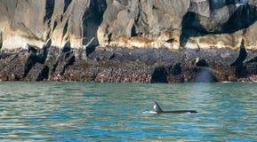 Orkamoordenaar Whate die in Kenai-Fjorden Nationaal Park ademen in Seward Alaska de V.S. royalty-vrije stock afbeeldingen