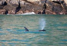 Orkamoordenaar Whate die in Kenai-Fjorden Nationaal Park ademen in Seward Alaska de V.S. stock afbeeldingen