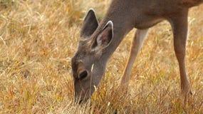 Orkan Ridge, olympisk nationalpark, WASHINGTON USA - Oktober 2014: En blacktailhjort stoppar för att beundra sikten av Royaltyfria Foton