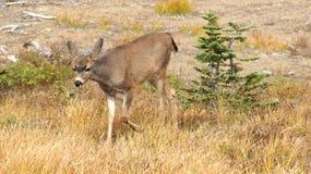 Orkan Ridge, olympisk nationalpark, WASHINGTON USA - Oktober 2014: En blacktailhjort stoppar för att beundra sikten av Arkivbild