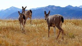 Orkan Ridge, olympisk nationalpark, WASHINGTON USA - Oktober 2014: En grupp av blacktailhjortar stoppar för att beundra Arkivbild
