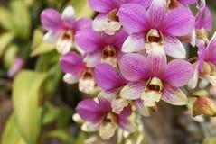 Orkidé Arkivfoton