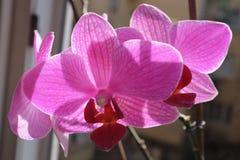 Orkidé Royaltyfria Foton
