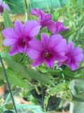 Orkidé in Royaltyfri Foto