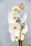 Orkidé Arkivbilder