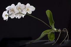 Orkidé Royaltyfri Foto