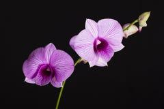 Orkidé Fotografering för Bildbyråer