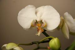 Orkidé Royaltyfri Bild