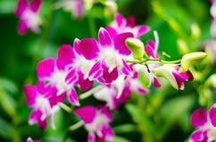 Orkidé Royaltyfri Fotografi