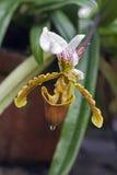 Orkidé av Paphiopedilumsläktet Royaltyfria Bilder