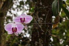 Orkidé av södra Florida Fotografering för Bildbyråer
